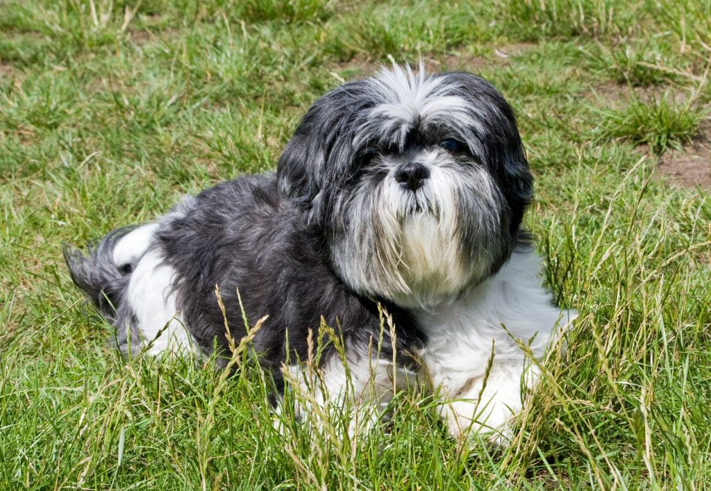 Image of a Black and White Shih Tzu laying on the grass