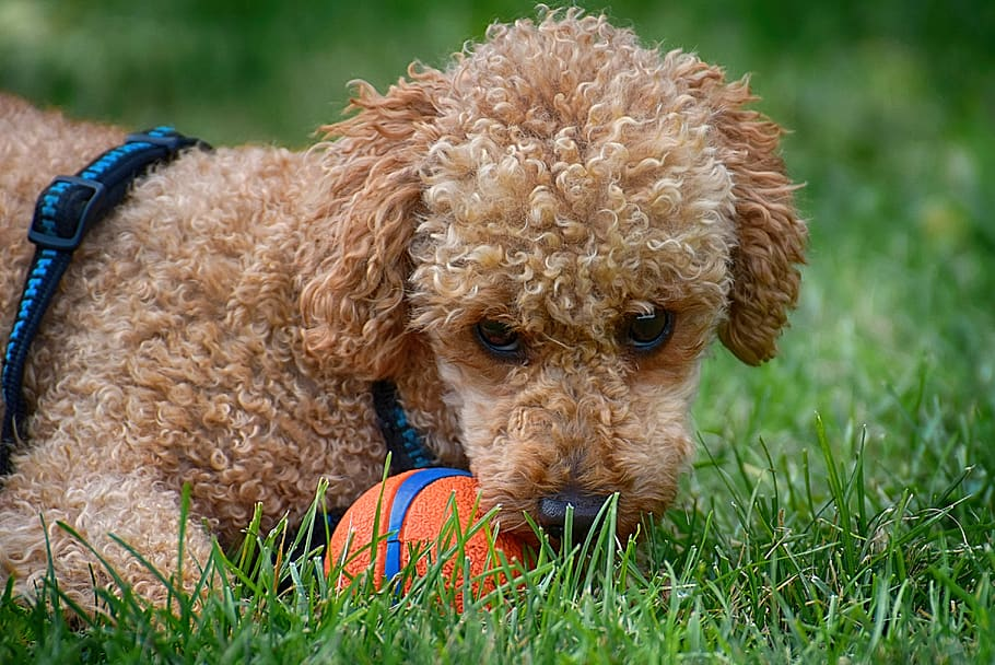 Image of a tan poodle with an orange ball laying on the grass